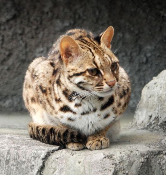 Asian Bengal Leopard Cat For Sale