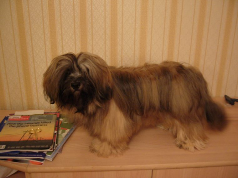 lhasa apso puppy photos