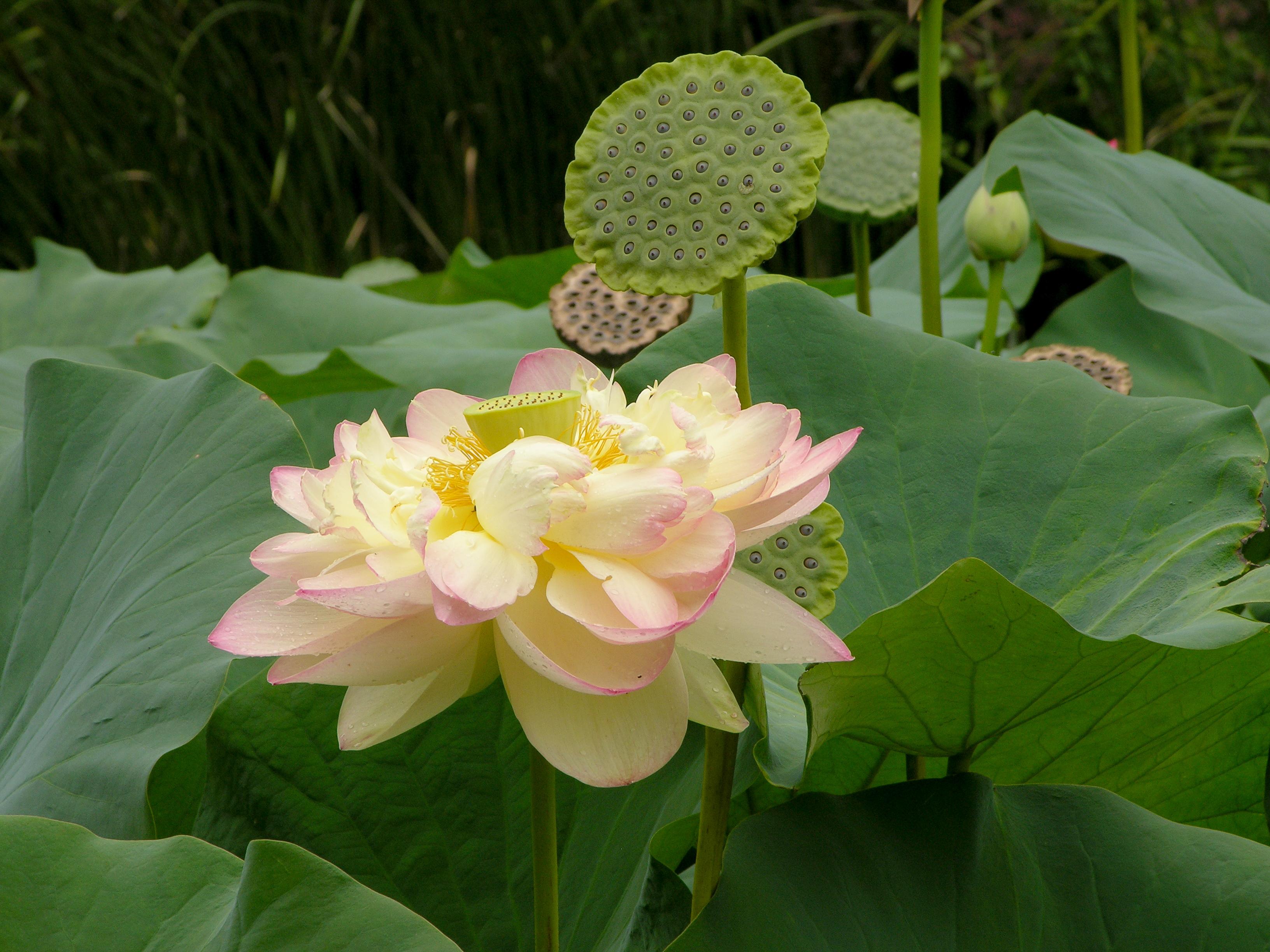 Filelotus Nelumbo Nucifera Flower 3264pxg Wikimedia Commons