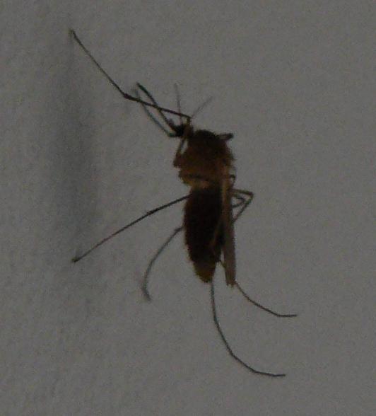 Muggensilhouet.jpg