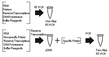 https://upload.wikimedia.org/wikipedia/commons/8/80/One-step_vs_two-step_RT-PCR.jpg