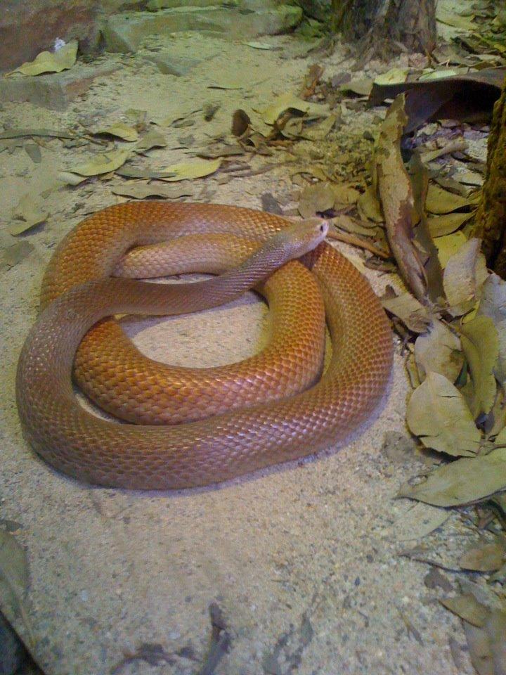 Najjedovatejší had na svete je taipan veľký. Žije v Austrálii a Novej Guinei.