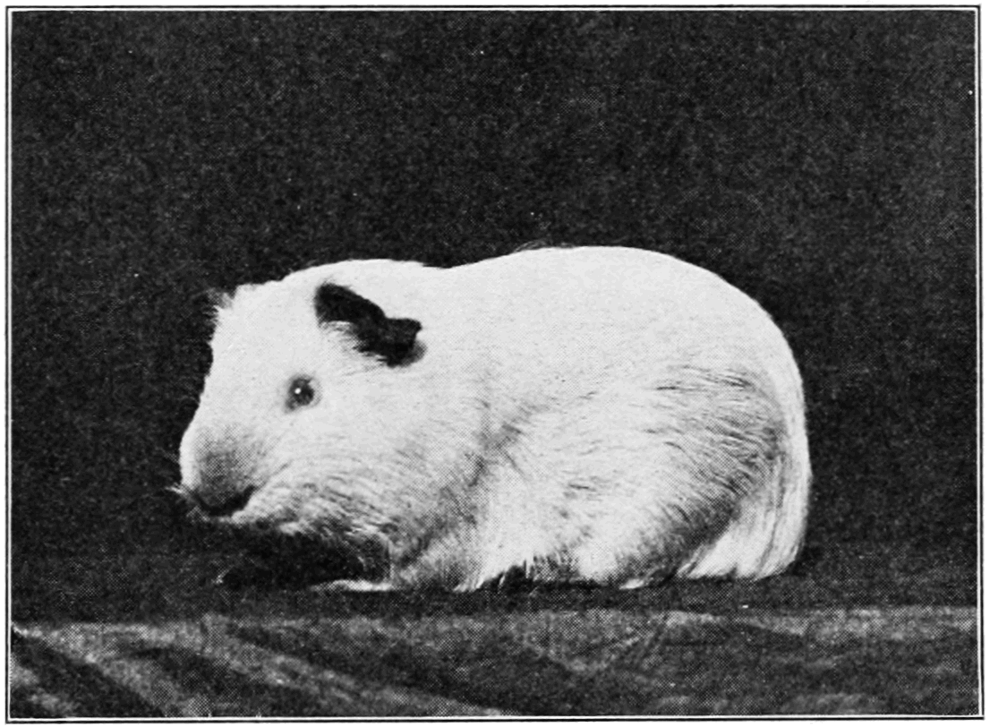 PSM V76 D428 Albino guinea pig father of black young.png