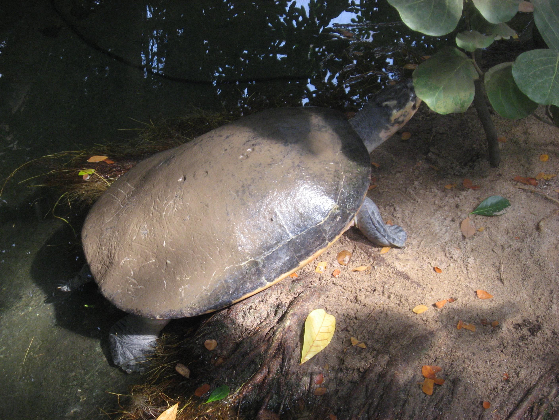 Arrau turtle wikipedia appearanceedit publicscrutiny Gallery