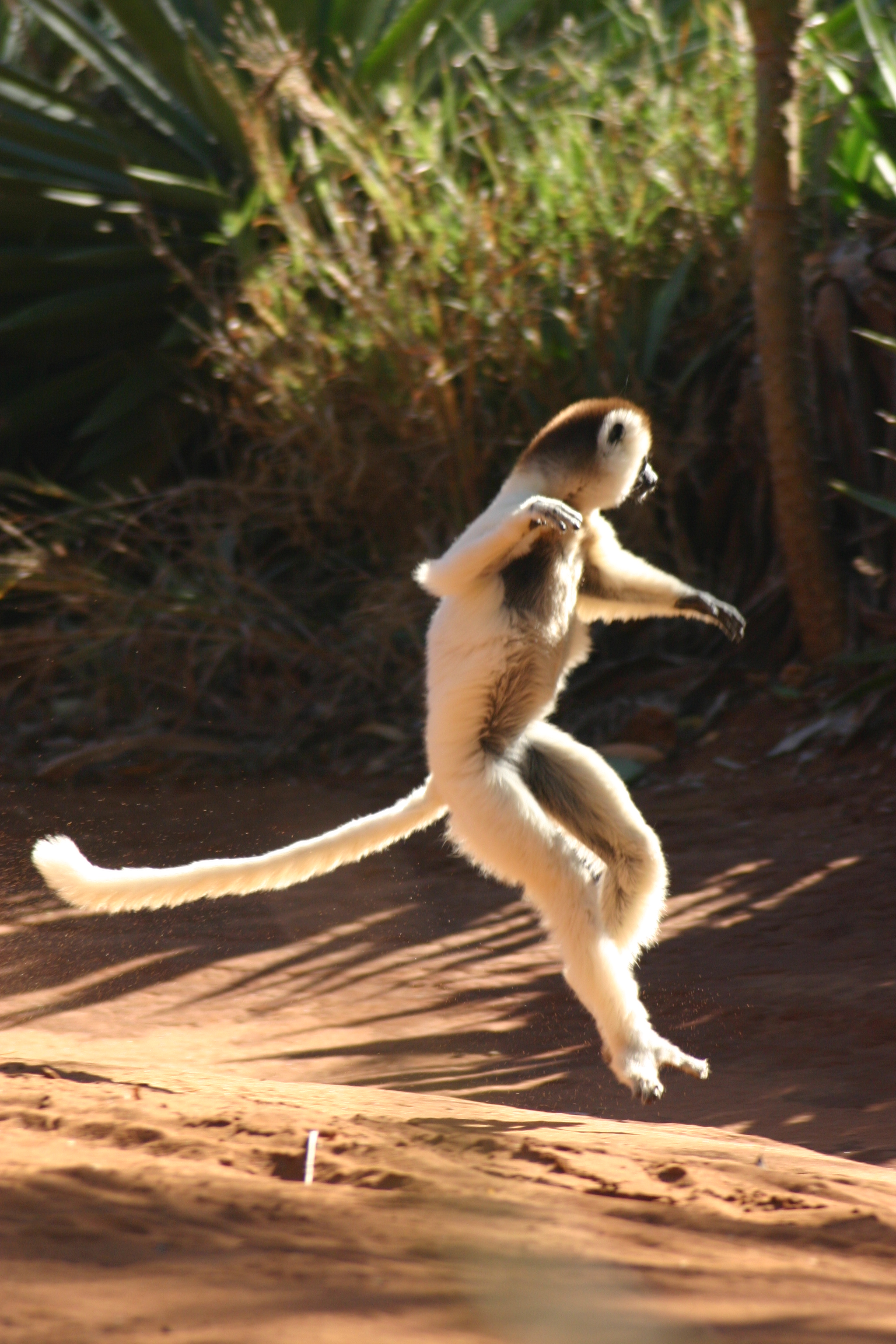An upright Coquerel's sifaka hops sideways with its arms at chest height.