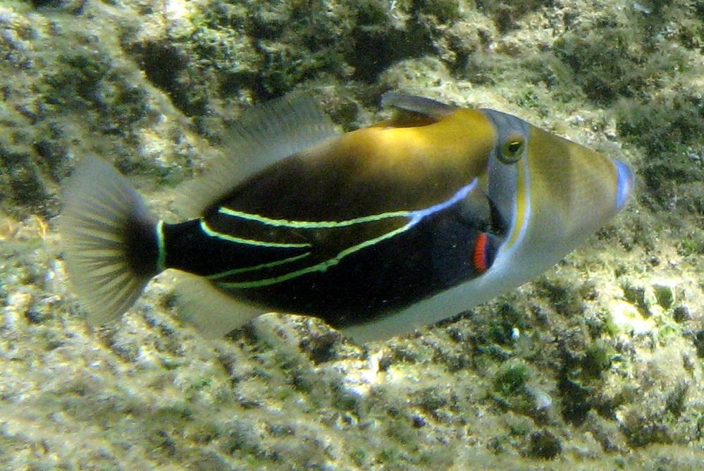 Humuhumunukunuku pua a wiktionary for Hawaiian fish identification