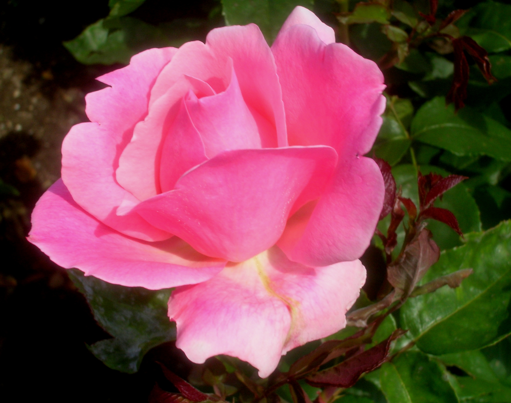 Rosa Stunning Rosa With Rosa Great Rosa With Rosa Awesome