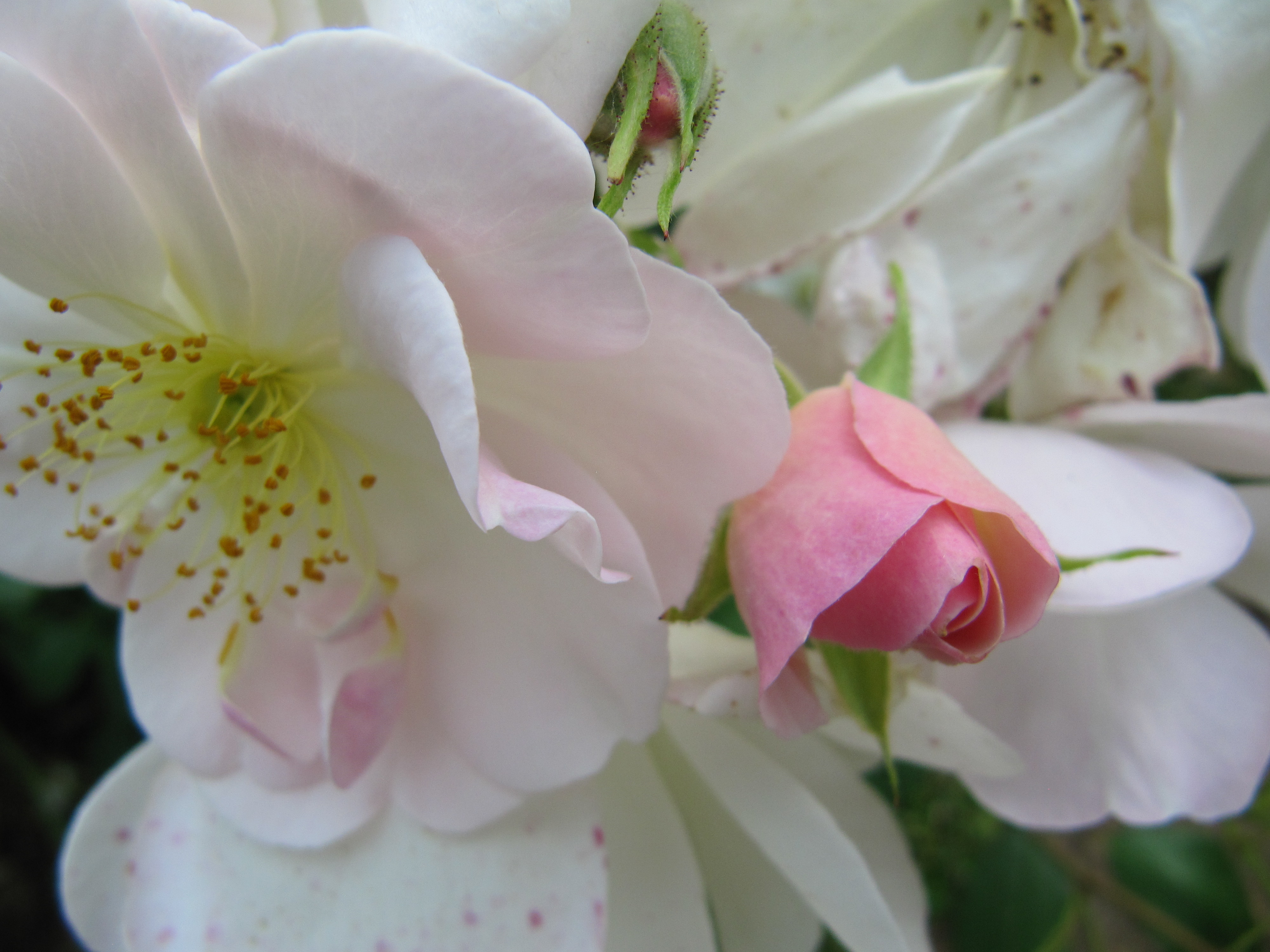 file roses blanche et rose wikimedia commons