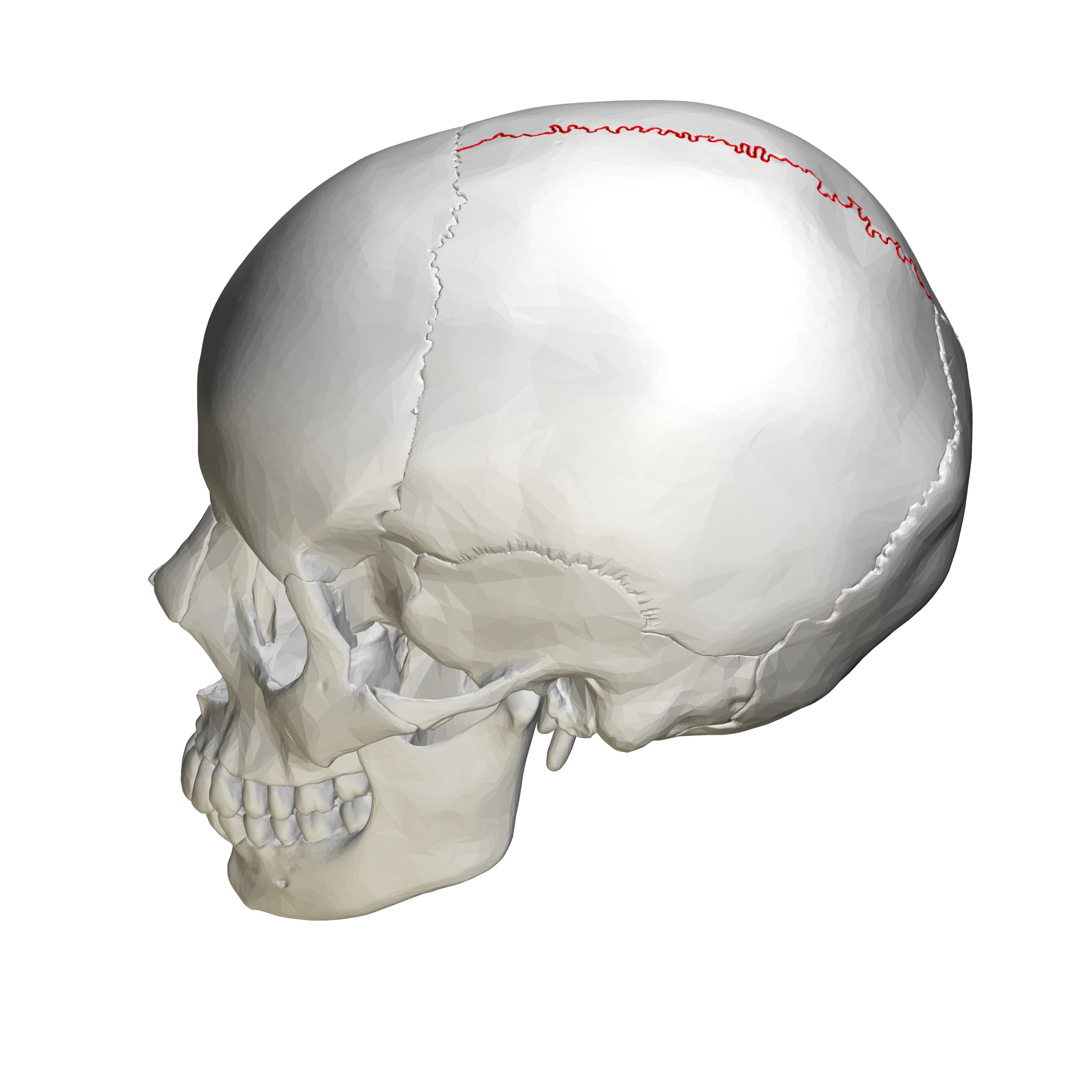 File:Sagittal suture - skull - lateral view02.png ...
