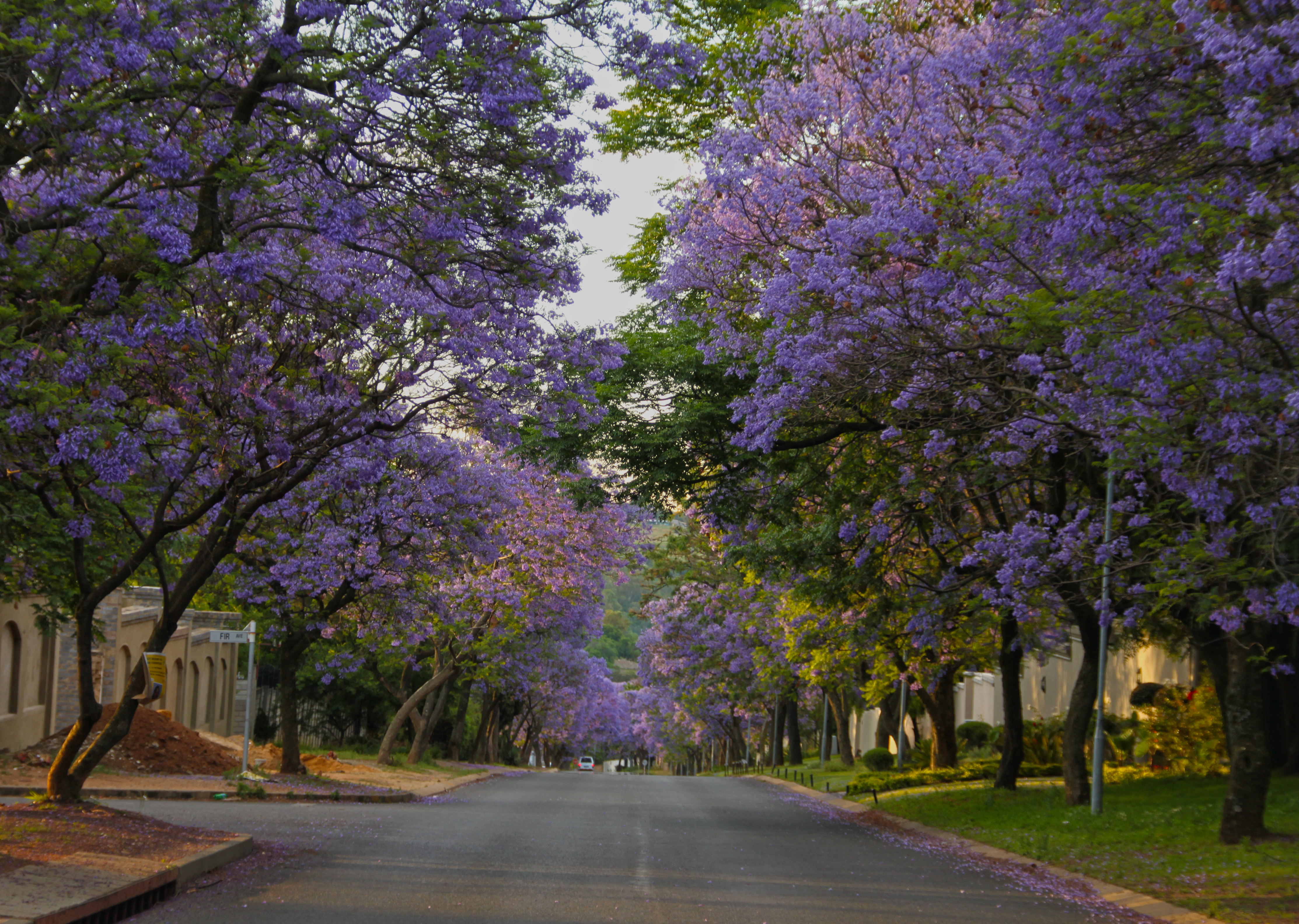 File:Street lined with Jacarandas, Bryanston, South Africa ...
