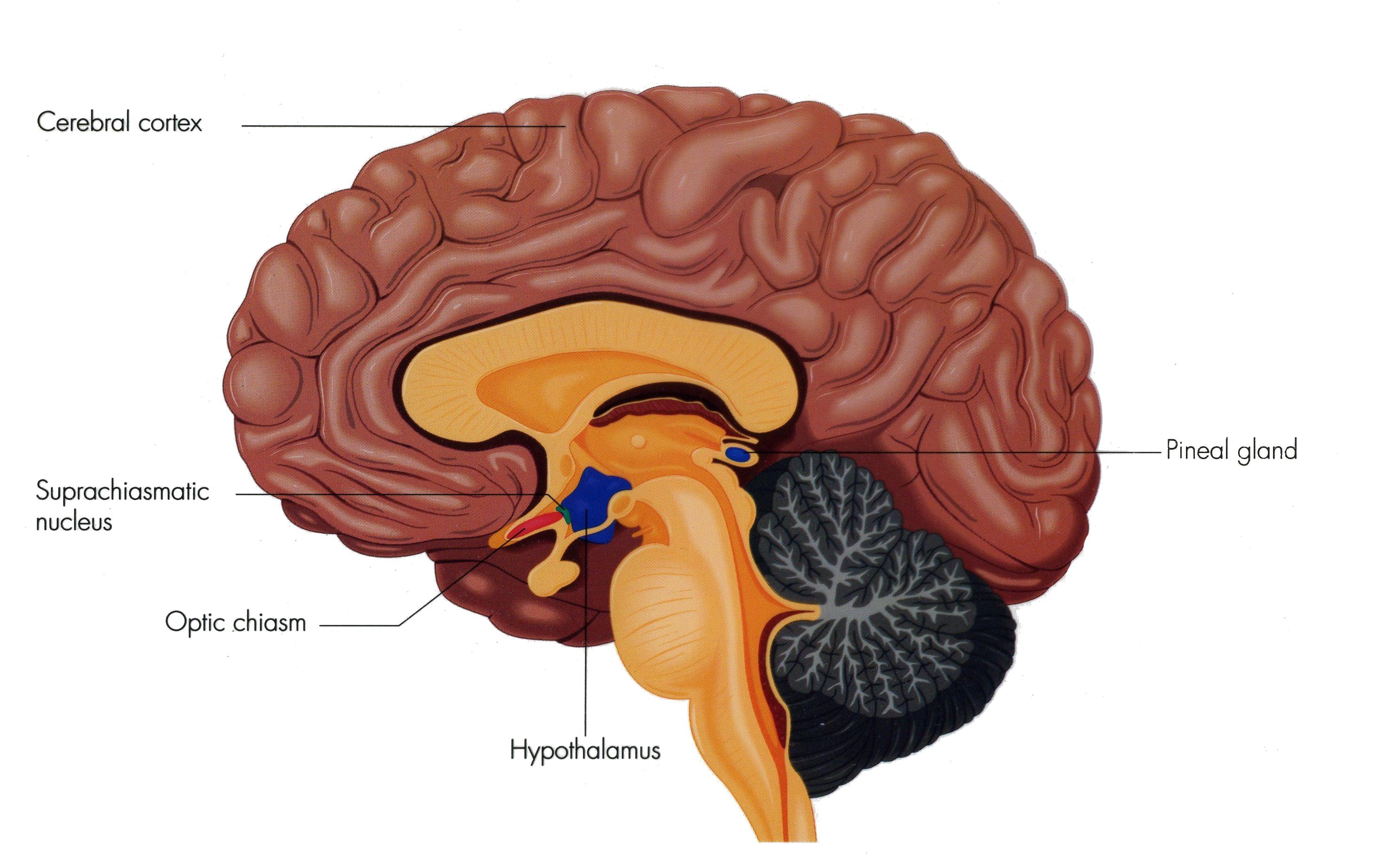 Image result for cerebral cortex