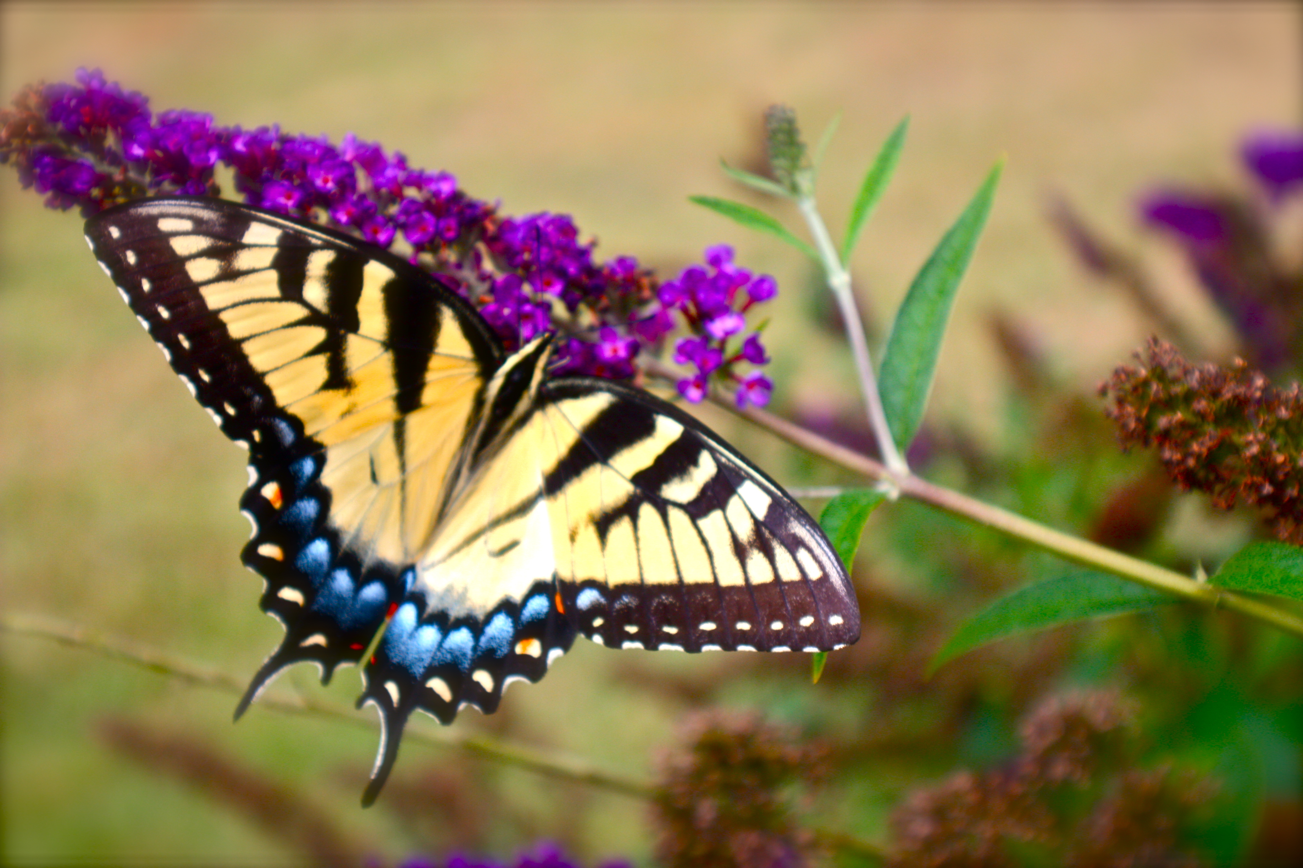 File:Swallowtails Love The Butterfly Garden (7373525610)