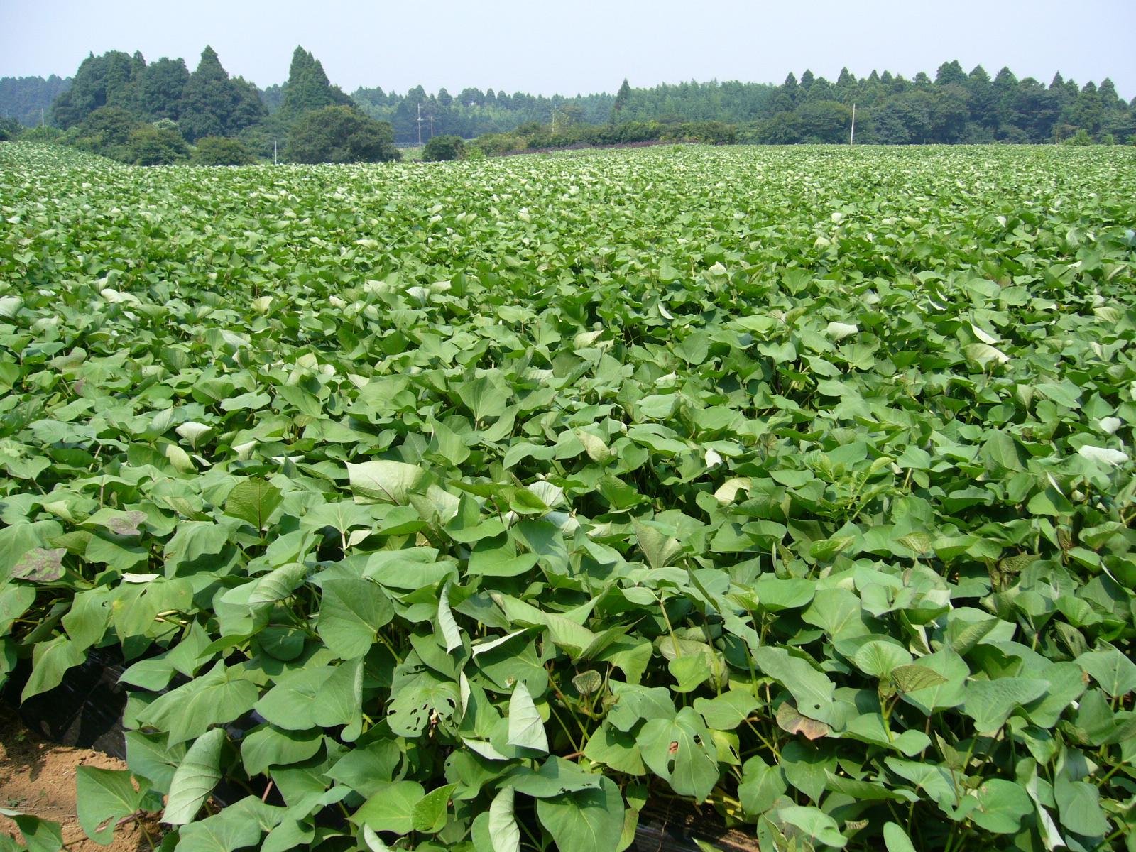 File:Sweet-potato-field,katori-city,japan.JPG - Wikimedia ...