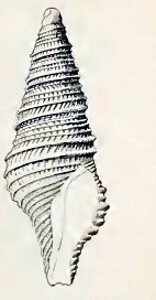 <i>Tomopleura dilecta</i> Species of gastropod