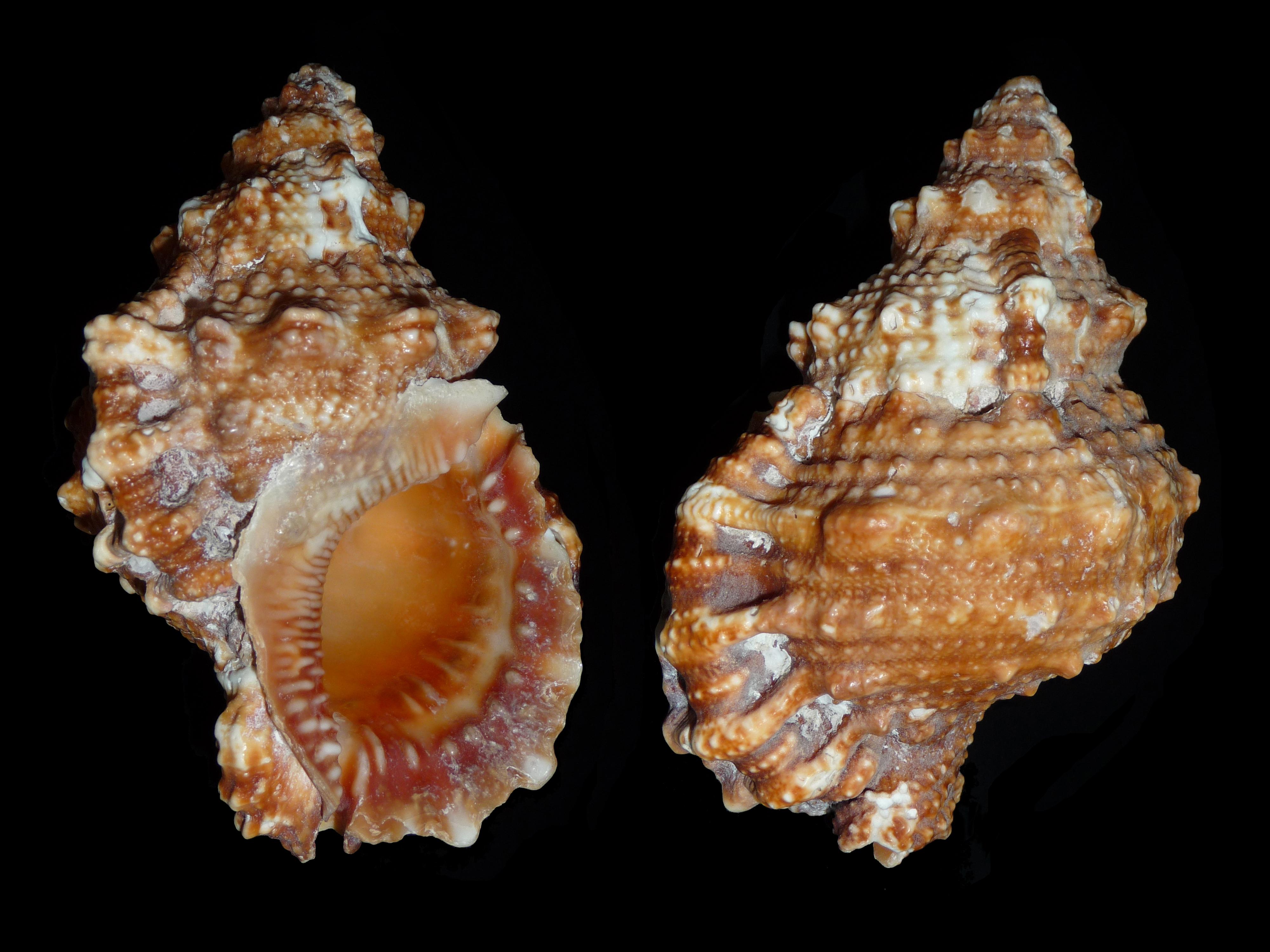 Bursa granularis (Röding, 1798)  Tutufa_rubeta_2010_G1