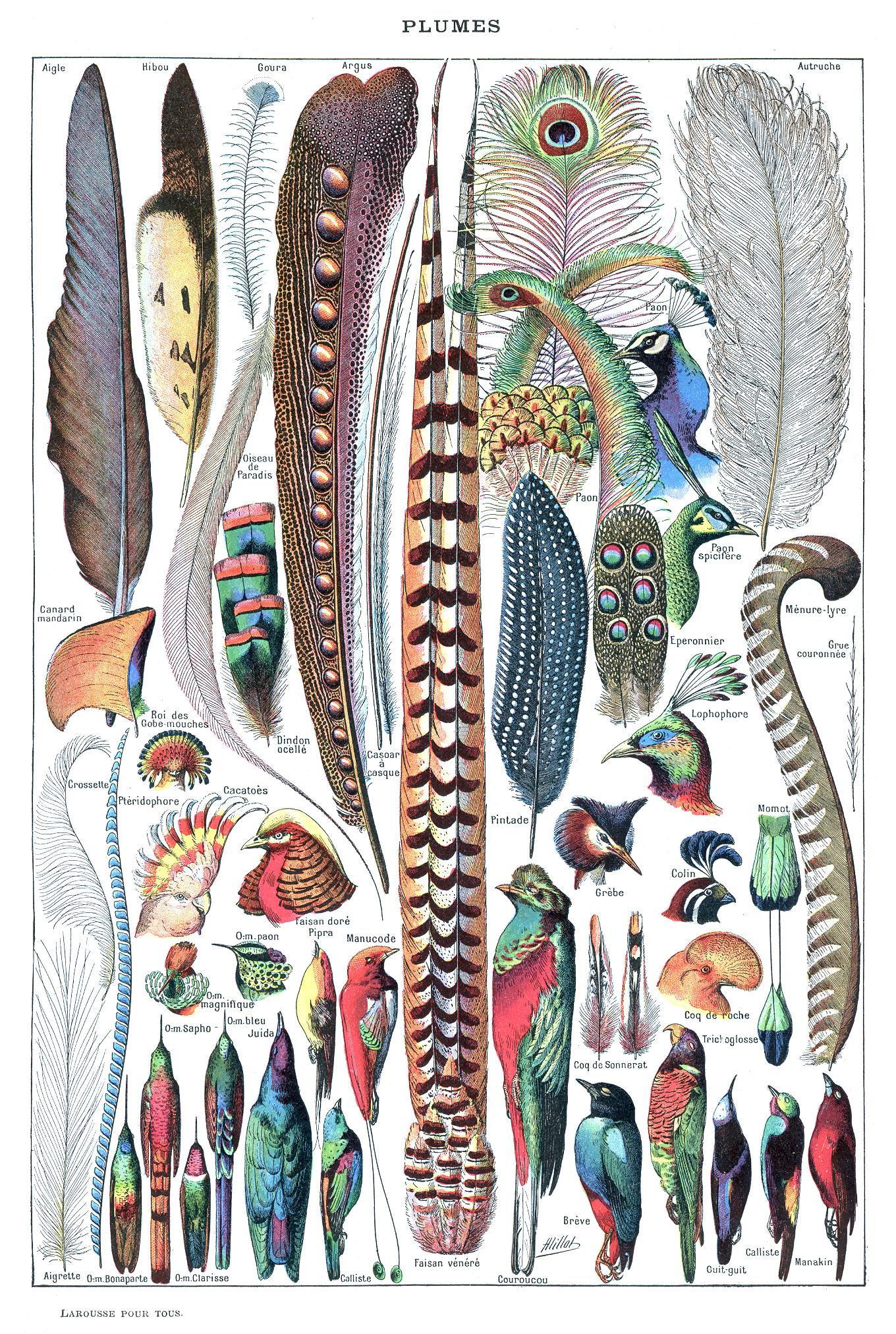 File:Types de plumes. - Larousse pour tous, -1907-1910-.jpg ...