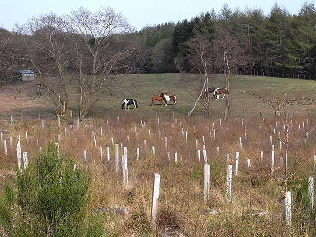 File:Woodland and horses on Holystone Common - geograph.org.uk - 1264323.jpg