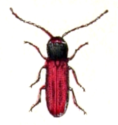 Xylophilus corticalis