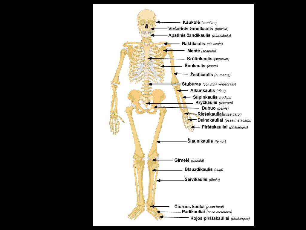 Zmogaus kaulai ir ju jungtys