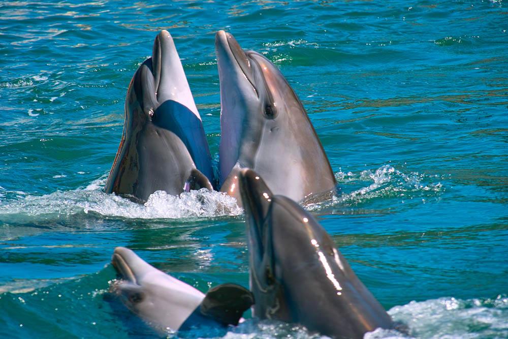 Схема дельфина из бисера считать, что