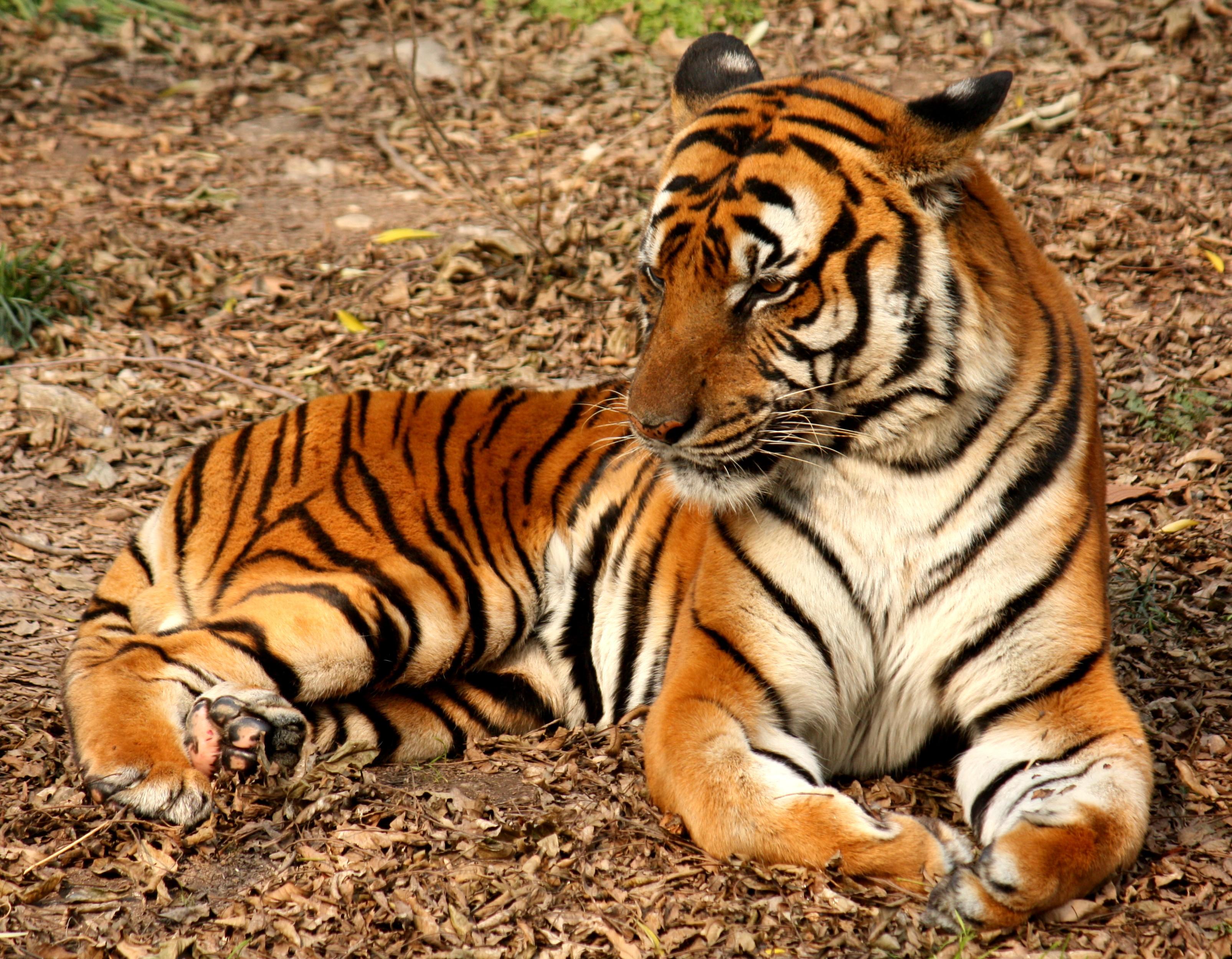 baby tiger spiele
