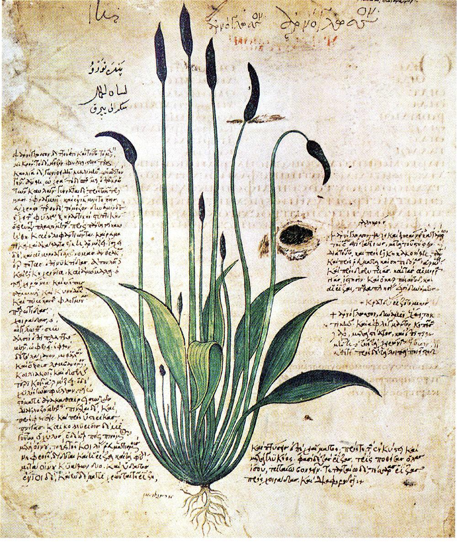 Erbario dell'Alto Medioevo, scritto probabilmente in arabo (vedere i caratteri in alto a sinistra)