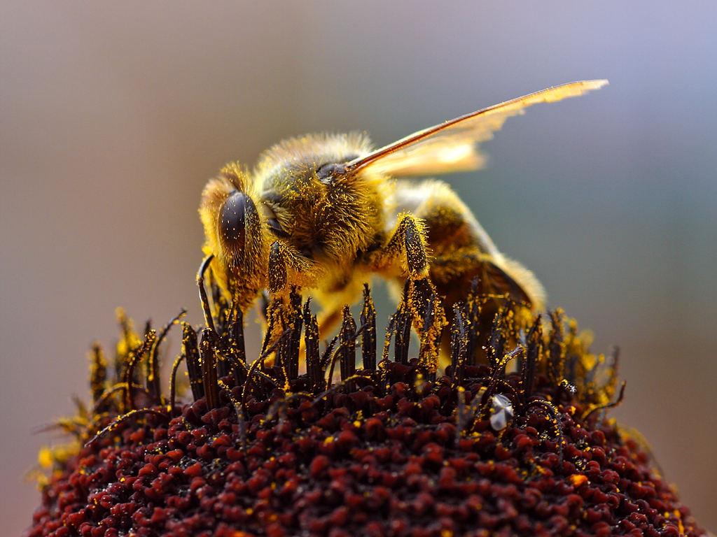 Μέλισσα - Βικιπαίδεια