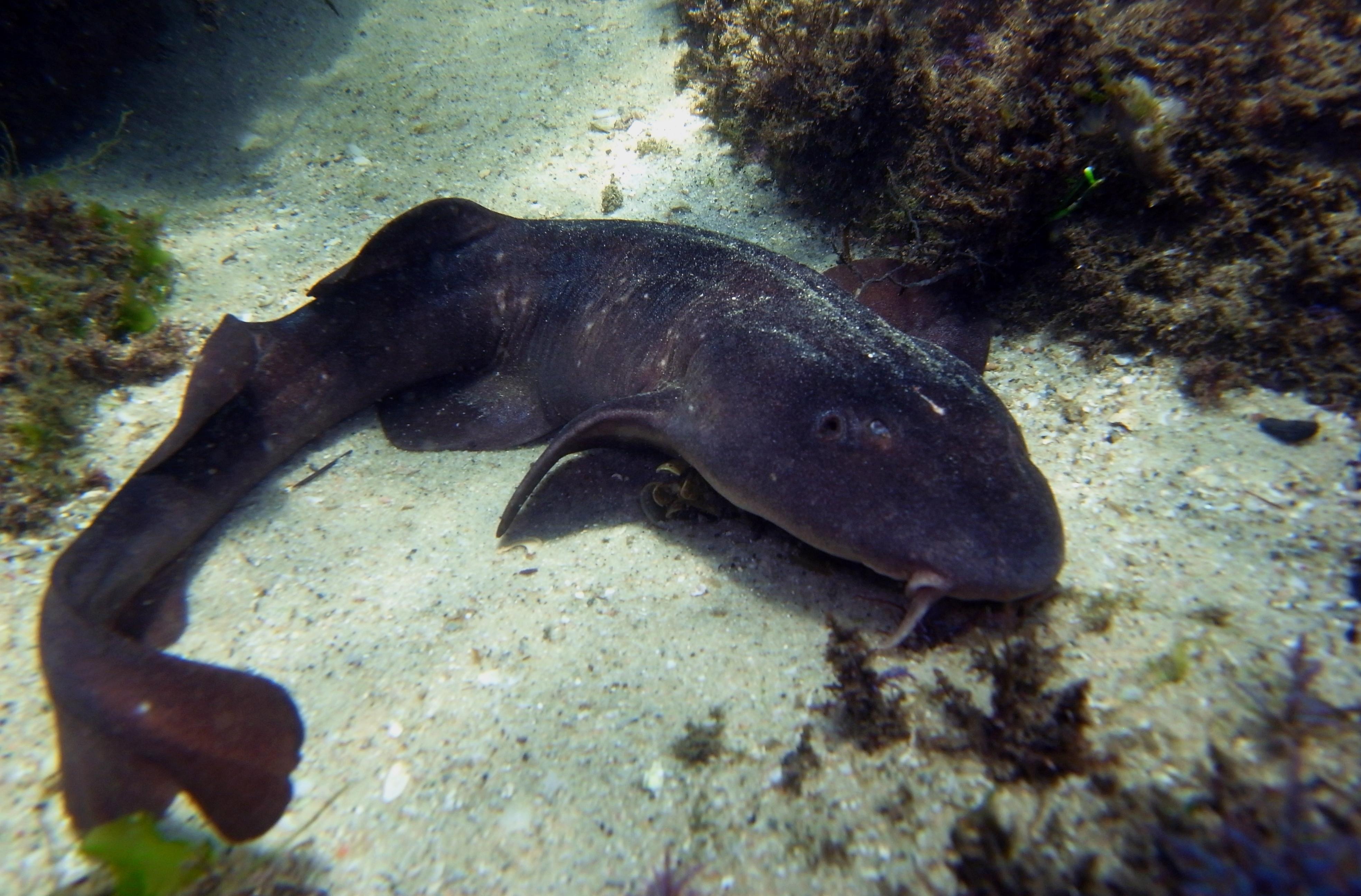 Blind Shark-Brachaelurus waddi (24718776135).jpg