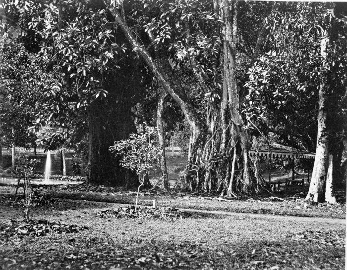File collectie tropenmuseum een waringin voor een prieel in de tuin van het paleis van de - Prieel tuin ...