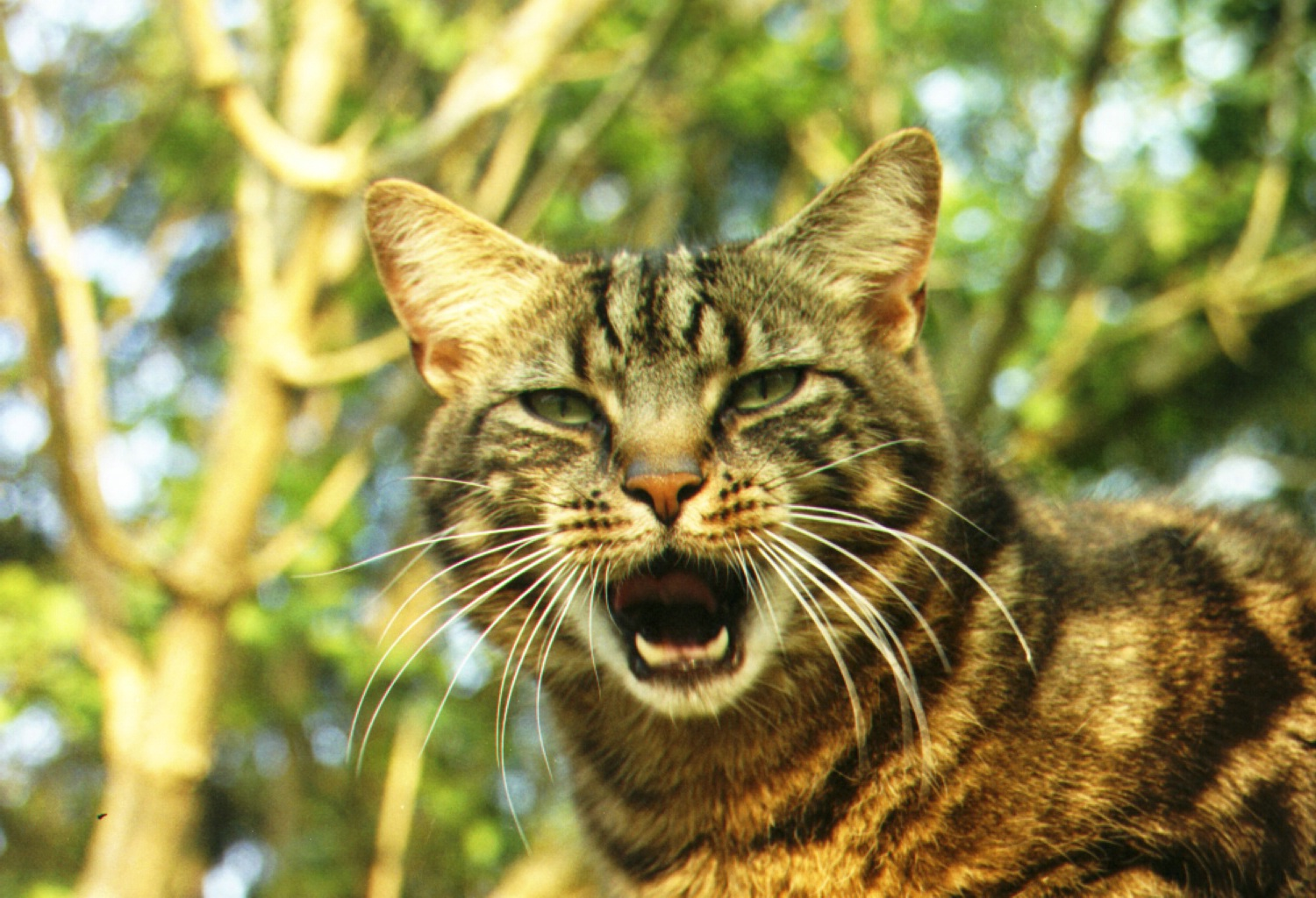 Cat With Mouth Open 117