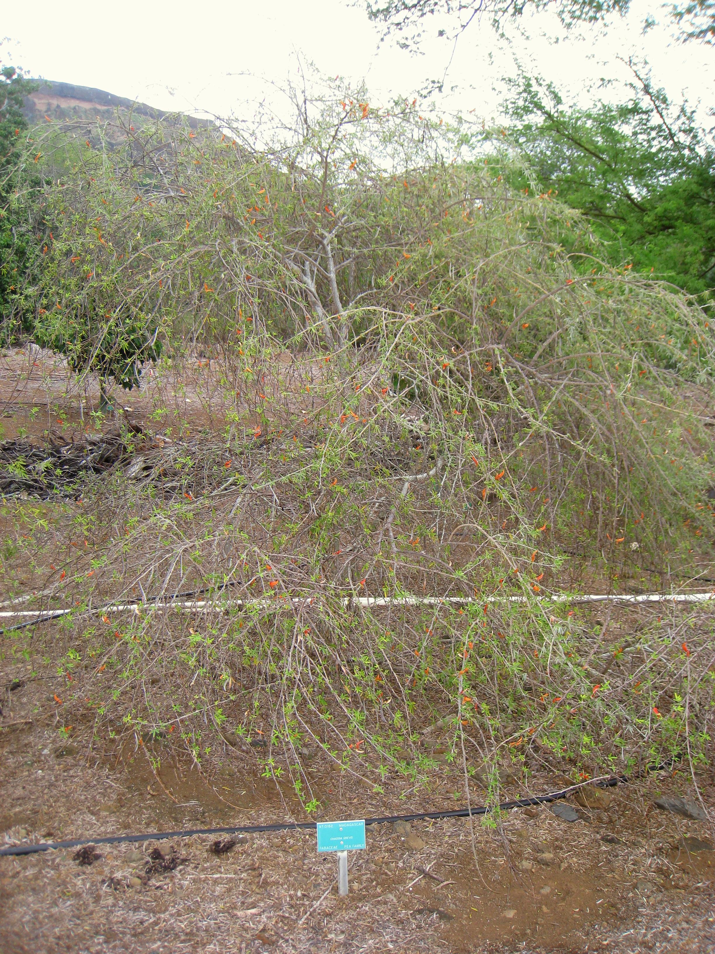 File Chadsia Grevei Koko Crater Botanical Garden Img 2293 Jpg Wikimedia Commons