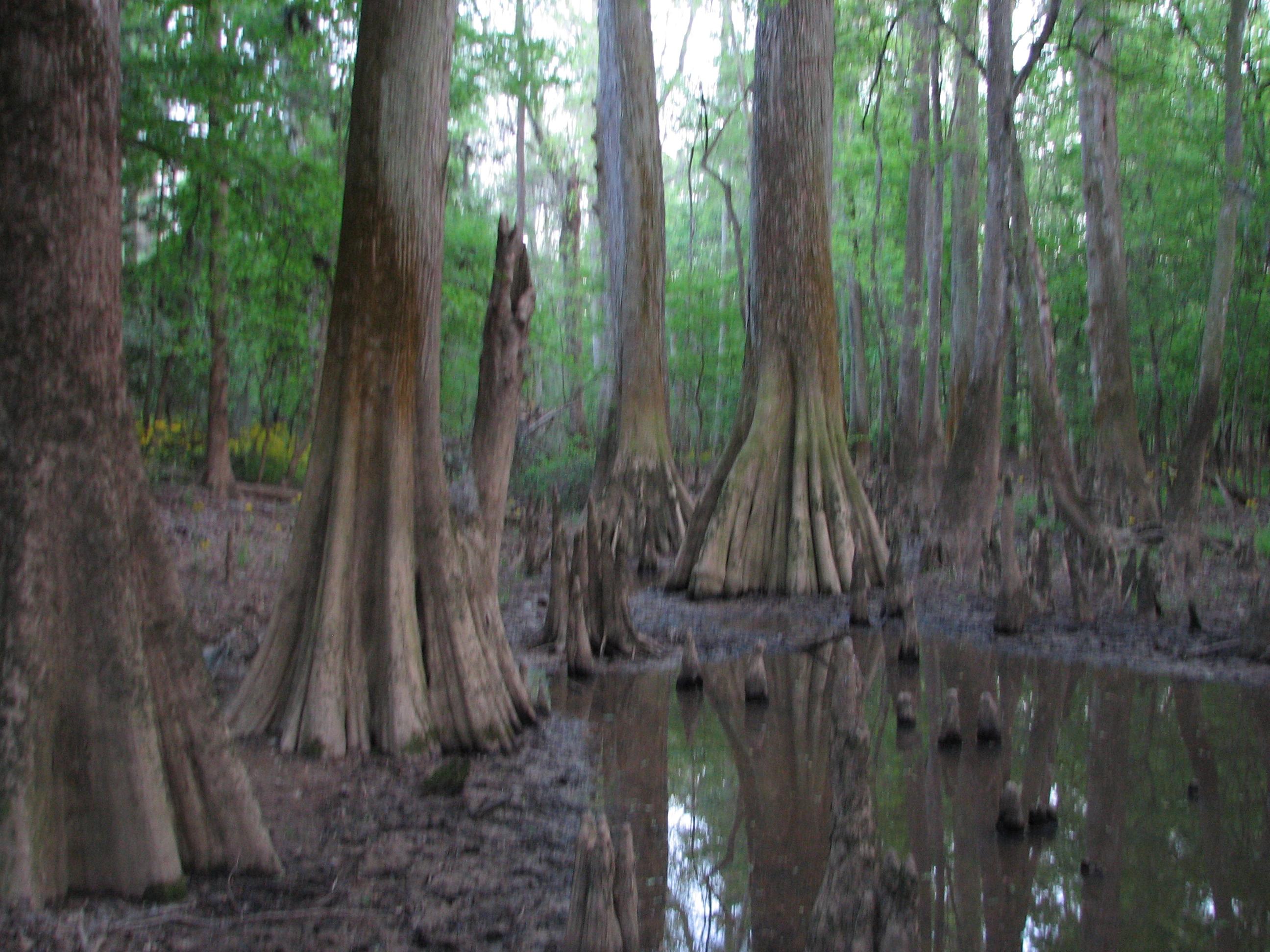 Cypress Tree Swamp Oil Paintings Panama City Florida
