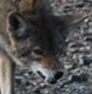 Coyote expressions - small mouth threat face.jpg