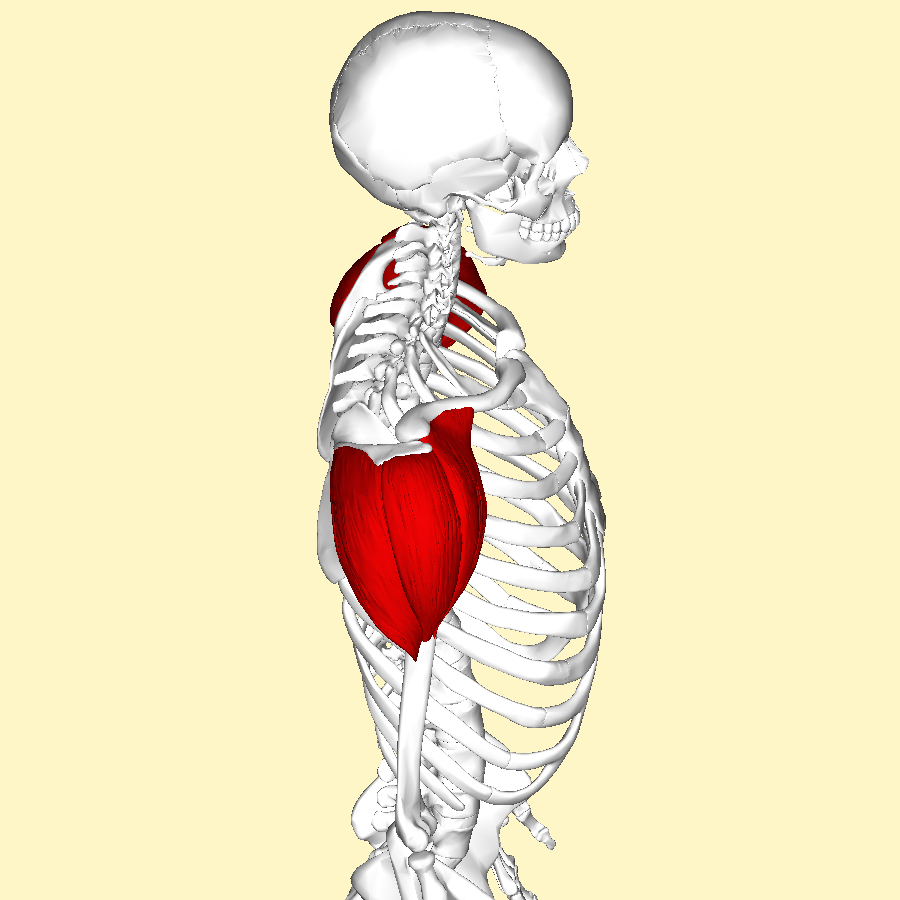 Filedeltoid Muscle Lateral2g Wikimedia Commons