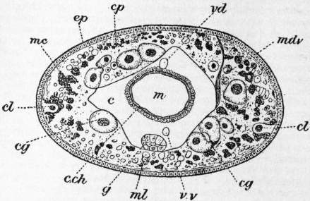EB1911 Chaetopoda Fig. 15.—Section of Acanthobdella (after Kovalevsky).jpg