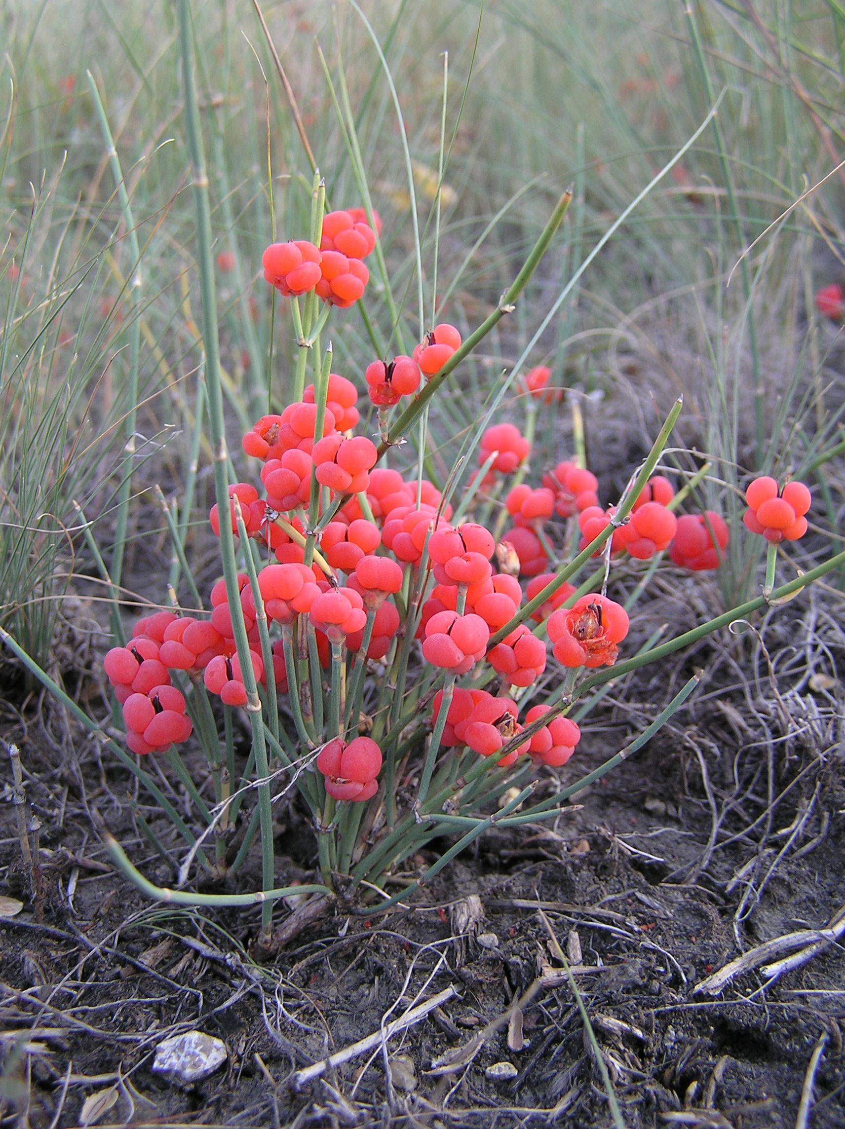 Ephedra Chilensis Pdf