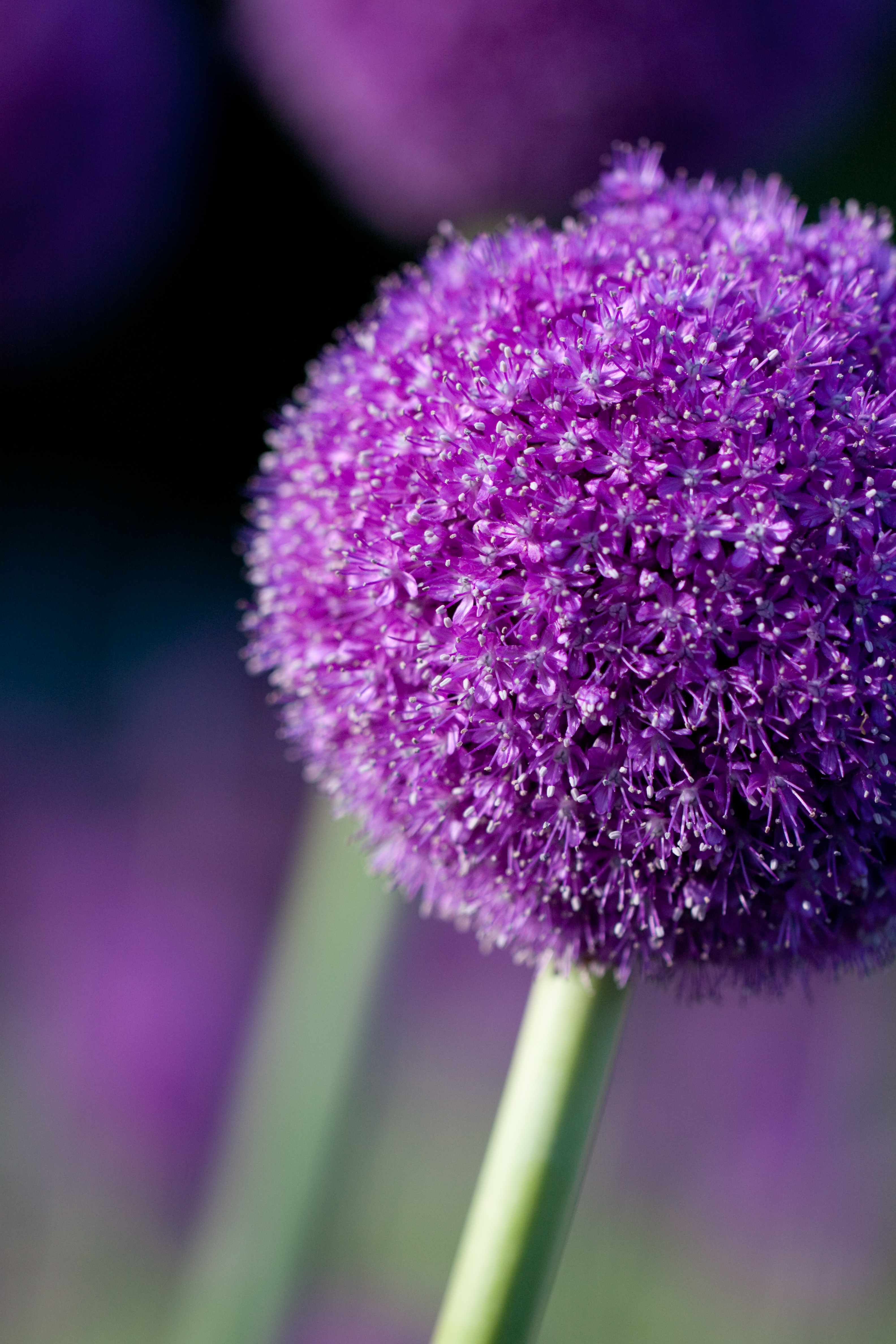 File Flower Allium giganteum Flickr nekonomania 1 Wikimedia mons