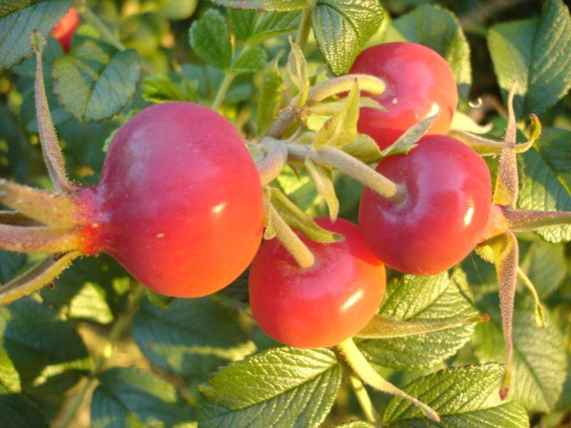 Fruits - Poil a gratter plante ...