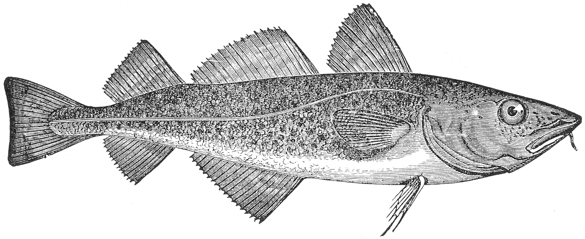 File gadus morrhua wikimedia commons for Benefits of cod fish
