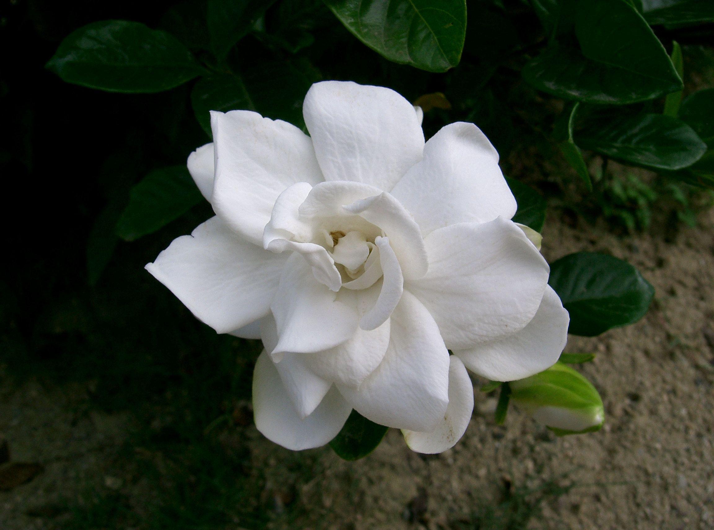 file gardenia wikimedia commons