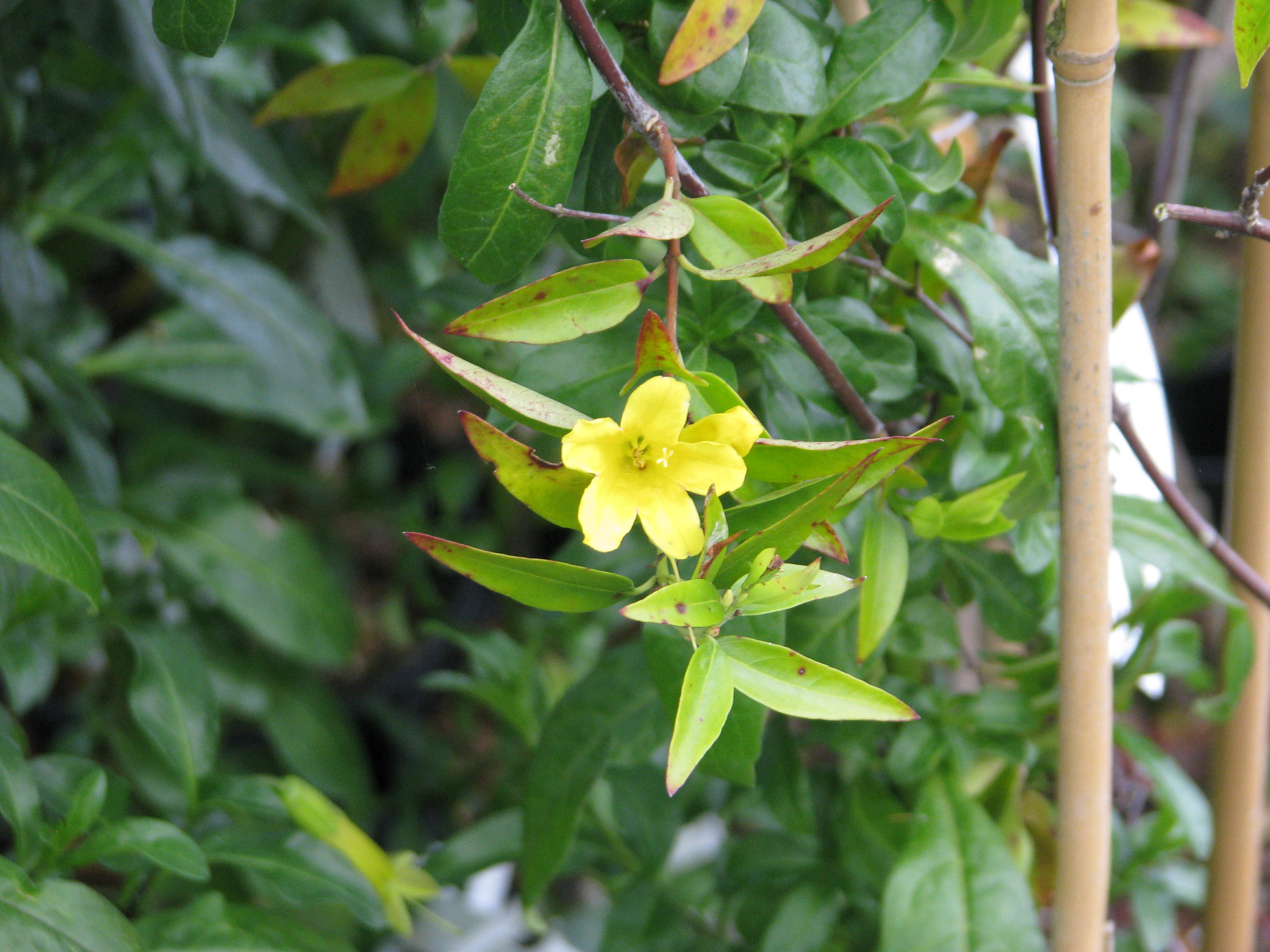 Horsedvm toxic plants for horses carolina jasmine toxic plant finder a z carolina jasmine family izmirmasajfo