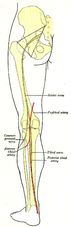 posterior tibial artery wikipedia