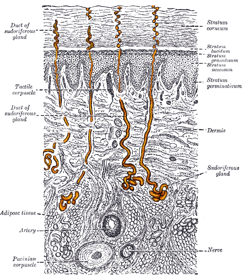 eccrine sweat gland - wikipedia, Human Body