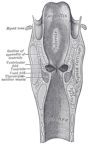 Laryngeal Ventricle Wikipedia
