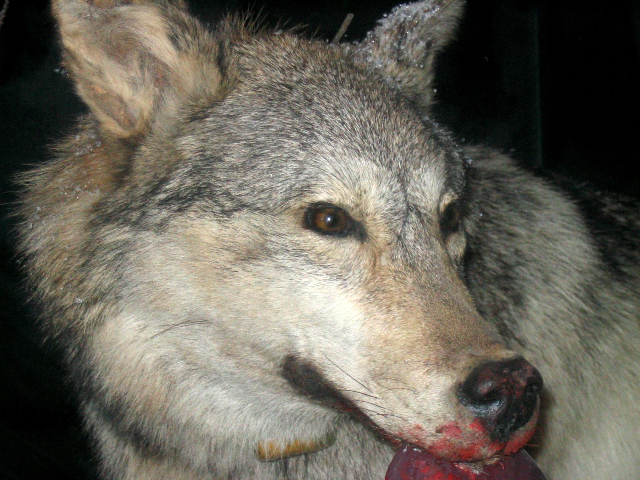 File:Grey Wolf 1.jpg - Wikimedia Commons