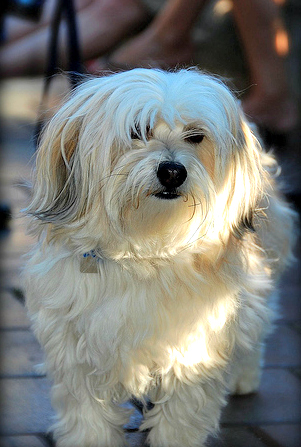 English: Havanese Dog named Demitasse Obiwan D...