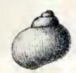 Lissomphalia bithynoides 001.jpg