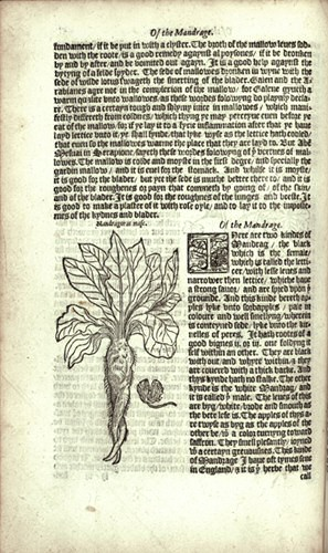 File:Mandrake - William Turner's Herbal.jpg