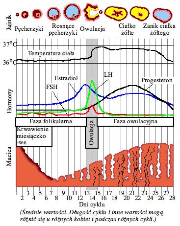 menstruationscykeln