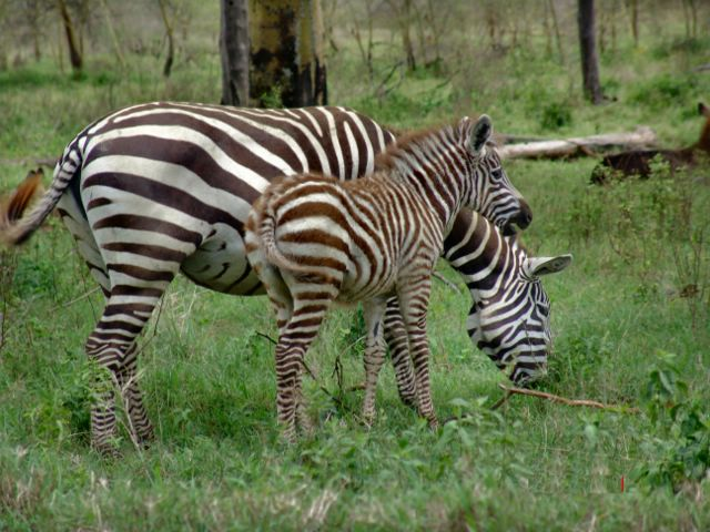 Zebra baby and mother - photo#20